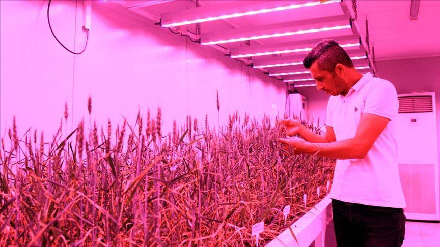 buğday hasatı labaratuvarda